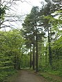 Forest ride, Obelisk Plantation - geograph.org.uk - 1290958.jpg