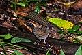 Formicarius colma -Vale do Ribeira, Registro, Sao Paulo, Brazil-8.jpg