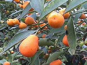 Kumquat (Fortunella spec., hier die Malaiische Kumquat)