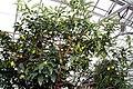 Fortunella margarita 9zz.jpg