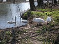 Four Mute Swans.jpeg