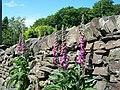 Foxgloves, Woodfall Lane, High Bradfield - geograph.org.uk - 1634420.jpg