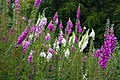 Foxgloves on Jarn Mound - geograph.org.uk - 1372755.jpg