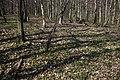 Frühlingsrundwanderung Schmücke bei Heldrungen - Buchenmischwald - panoramio.jpg