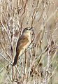 Freckle-breasted Thornbird.jpg