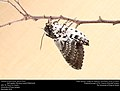 Freshly-eclosed Rustic Sphinx Month (Sphingidae, Manduca rustica (Fabricius)) (33351500875).jpg