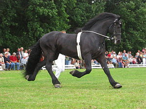 Surcingle - A show horse wearing a surcingle.