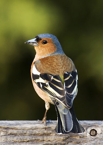 English: Male chaffinch (Fringilla coelebs). F...