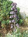 Fritillaria persica (17099543012).jpg