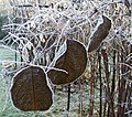 Frosted Leaves at Myddleton House Garden, Enfield, Middlesex. - geograph.org.uk - 662622.jpg