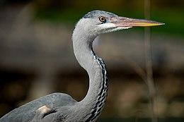 GIPE25 - heron (by-sa) (1).jpg