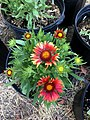 Gaillardia-arizona-red-shades-2712.jpg