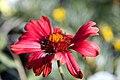 Gaillardia grandiflora Burgundy 0zz.jpg