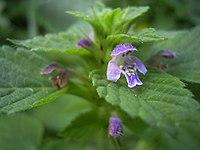 Galeopsis bifida