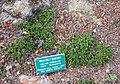 Galium ambiguum (sic) - Regional Parks Botanic Garden, Berkeley, CA - DSC04527.JPG
