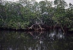Hutan Bakau Wikipedia Bahasa Indonesia Ensiklopedia Bebas