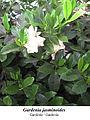 Gardenia jasminoides 1.1.jpg