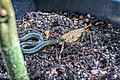 Garter Snake (225495313).jpeg