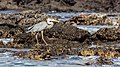 Garza azulada (Ardea herodias), Las Bachas, isla Santa Cruz, islas Galápagos, Ecuador, 2015-07-23, DD 12.jpg