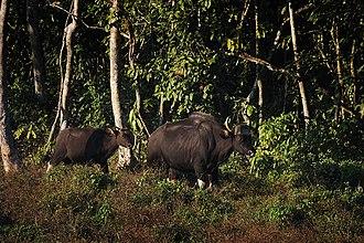 Chapramari Wildlife Sanctuary - Image: Gaur chapramari