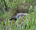 Gavia immer -Osgood Pond, New York, USA -nest-8a.jpg