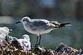 Gaviota Reidora, Laughing Gull, Leucophaeus atricilla (11060835976).jpg