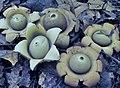 Geastrum saccatum 13071533.jpg