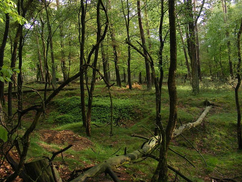 Національний парк Hoge Veluwe (Нідерланди). Фото: Natuur12, ліцензія CC-BY-SA-3.0-NL