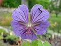 Geranium erianthum.jpg