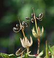 Geranium rotundifolium fruit.jpg