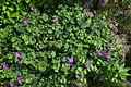 Geranium sanguineum Leeds A.jpg