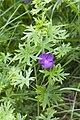 Geranium sanguineum parfondru 02 25052008 2.jpg