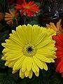 Gerbera, roślina do bukietów 01.jpg