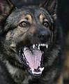 German Shepherd Military Working Dog MOD 45149289.jpg