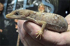 Texas Alligator Lizard, Gerrhonotus infernalis