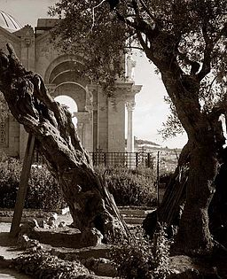 Gethsemane old tree in garden 1898