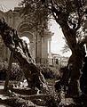 Gethsemane old tree in garden 1898.jpg
