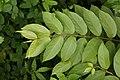 Getonia floribunda 2601.jpg