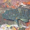 Giant hawkfish.jpg