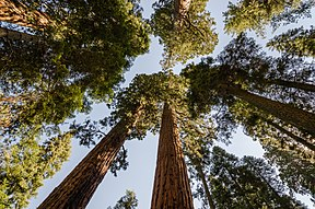 Reuse-sequoias in die Nasionale Sequoia-park