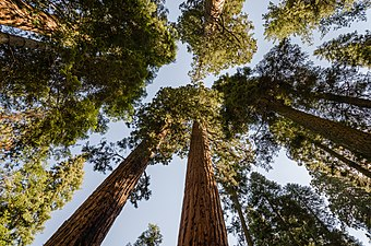 Giant sequoias in Sequoia National Park 2013.jpg