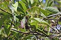 Gilded Hummingbird (4303092028).jpg