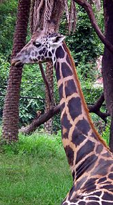 Giraffa camelopardalis from Nehru Zoological park Hyderabad 4371.JPG