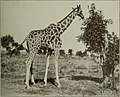 Giraffe 'Josephine'.jpg