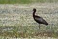 Glossy ibis (Plegadis falcinellus), Skala Kallonis, Lesvos, Greece, 19.04.2015 (17309695211).jpg