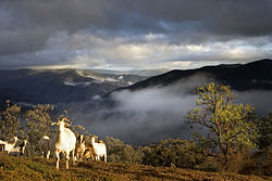 Goats in the mountains - the farmer uses this herd for meat