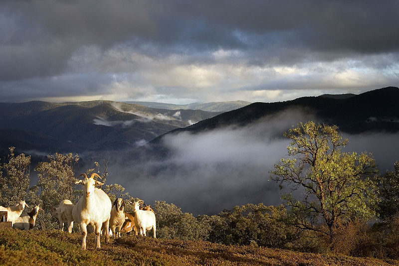 http://upload.wikimedia.org/wikipedia/commons/thumb/7/7c/Goats_in_mountains.jpg/800px-Goats_in_mountains.jpg