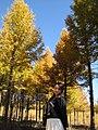 Golden forests at Chongli 崇礼金秋 (8181833932).jpg