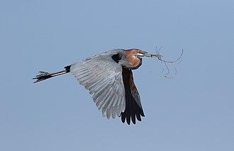 Goliath heron - Adult transporting nesting material