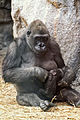 Gorilla Feeding Her Baby (18023708582).jpg